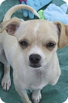 Chihuahua Mix Dog for adoption in Pleasanton, California - Scooby