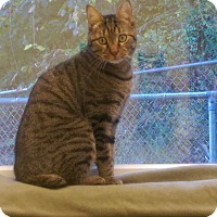 Domestic Shorthair Cat for adoption in Shinnston, West Virginia - Towers