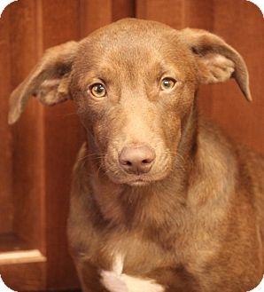 Labrador Retriever Mix Puppy for adoption in Mahwah, New Jersey - Zack Chapman Pending Adoption!