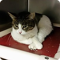 Domestic Shorthair Cat for adoption in Chippewa Falls, Wisconsin - Cranberry