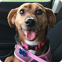 Adopt A Pet :: Adira - Minneapolis, MN