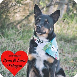 Lancashire Heeler/Terrier (Unknown Type, Medium) Mix Dog for adoption in San Leon, Texas - Taffee