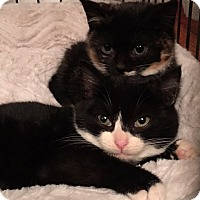 Domestic Shorthair Kitten for adoption in Phillipsburg, New Jersey - Holly and Rudy