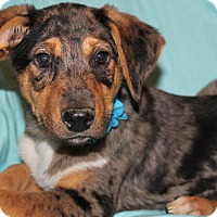 Adopt A Pet :: Saber (has been adopted) - Hagerstown, MD