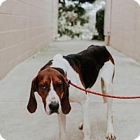 Adopt A Pet :: Thursten - Chino Hills - Chino Hills, CA