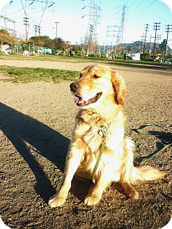 Golden Retriever Dog for adoption in Long Beach, California - Buddy