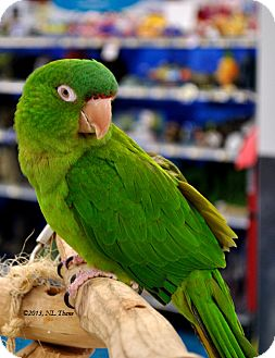 Conure for adoption in Shawnee Mission, Kansas - Sparky