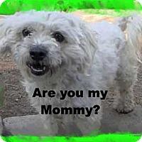 Adopt A Pet :: The little Kisser - Pasadena, CA