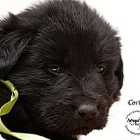 Adopt A Pet :: Corky - Westfield, NY