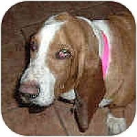 Adopt A Pet :: Gallagher - Phoenix, AZ