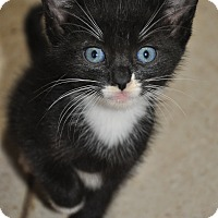 Adopt A Pet :: Whiskers - New Smyrna Beach, FL