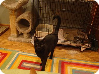 Domestic Shorthair Cat for adoption in Muncie, Indiana - Mystery