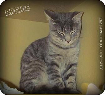 Domestic Mediumhair Cat for adoption in Rockaway, New Jersey - Archie