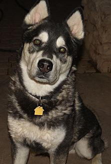 Siberian Husky/Alaskan Malamute Mix Dog for adoption in Apache Junction, Arizona - MAC