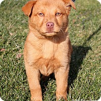 Adopt A Pet :: Goldie - Bedford, VA