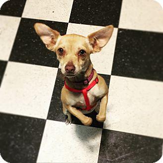 Chihuahua Mix Dog for adoption in Santa Ana, California - Sita (LC)