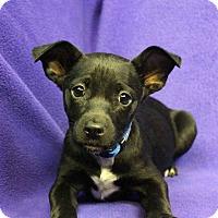 Adopt A Pet :: NANCY - Westminster, CO