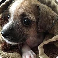 Adopt A Pet :: Muffin - Chino Hills - Chino Hills, CA
