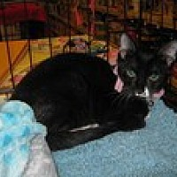 Domestic Shorthair Cat for adoption in Arlington, Texas - Nina
