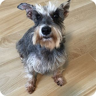 Schnauzer (Miniature) Dog for adoption in Redondo Beach, California - Corky