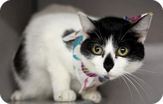 Domestic Shorthair Cat for adoption in Voorhees, New Jersey - Lana