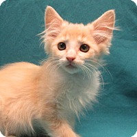 Adopt A Pet :: 16-c07-026 Budapest - Fayetteville, TN