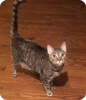 Domestic Shorthair Cat for adoption in Baltimore, Maryland - Silverbelle (COURTESY POST)