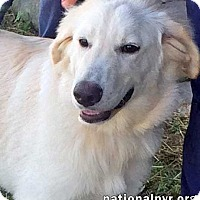Great Pyrenees/Labrador Retriever Mix Dog for adoption in Beacon, New York - Twinkles in PA