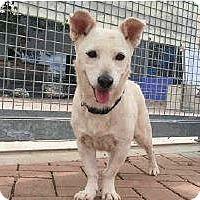 Adopt A Pet :: Petey - Austin, TX