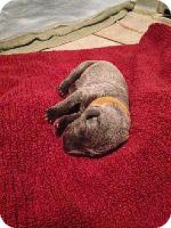 Weimaraner Puppy for adoption in Fayetteville, Arkansas - Turquise(Lulu)
