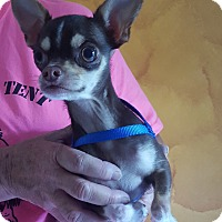 Chihuahua Dog for adoption in Franklin, Indiana - Oliver