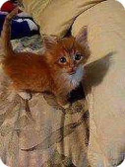 Domestic Longhair Kitten for adoption in Hampton, Virginia - TWIX
