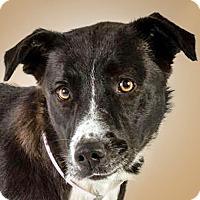 Adopt A Pet :: Miley - Prescott, AZ