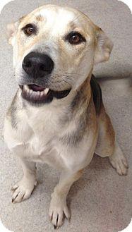 Shepherd (Unknown Type)/Labrador Retriever Mix Dog for adoption in Spokane, Washington - Roxy