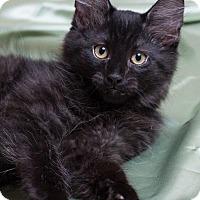 Adopt A Pet :: Macchiato - Lombard, IL