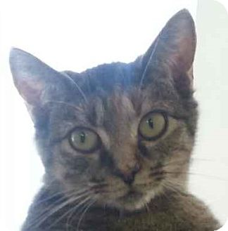 Domestic Shorthair Cat for adoption in Lexington, Kentucky - Izzy