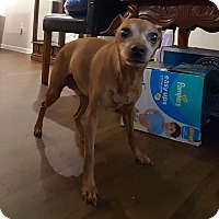 Miniature Pinscher Mix Dog for adoption in Scottsdale, Arizona - Tank