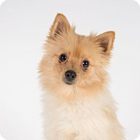 Pomeranian Dog for adoption in St. Louis Park, Minnesota - Denny