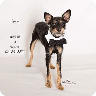 Terrier (Unknown Type, Small)/Schnauzer (Miniature) Mix Dog for adoption in Sherman Oaks, California - Hunter