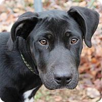 Adopt A Pet :: Tank - Hagerstown, MD