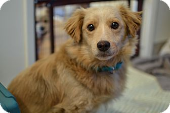 Golden Retriever/Corgi Mix Dog for adoption in Los Angeles, California - Chester