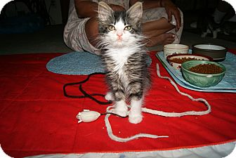 Domestic Longhair Kitten for adoption in Bensalem, Pennsylvania - Penny