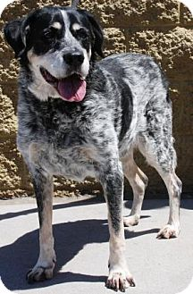 Australian Shepherd/Hound (Unknown Type) Mix Dog for adoption in Gilbert, Arizona - Barkley