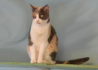 Domestic Shorthair Cat for adoption in Sebastian, Florida - Girlie