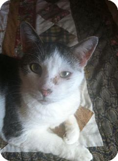 Domestic Shorthair Cat for adoption in New Bedford, Massachusetts - Diego