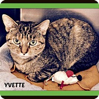 Domestic Shorthair Cat for adoption in Fenton, Missouri - Yvette