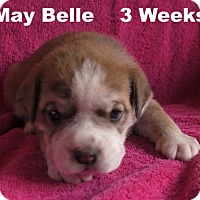 Adopt A Pet :: Jolene's Pup F4 - May Belle - Tampa, FL