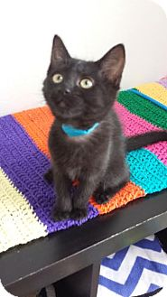 Domestic Shorthair Kitten for adoption in Westminster, California - Jenna