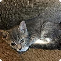 Adopt A Pet :: Pollux - Putnam, CT