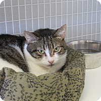 Domestic Shorthair Cat for adoption in Valley Center, California - Princess